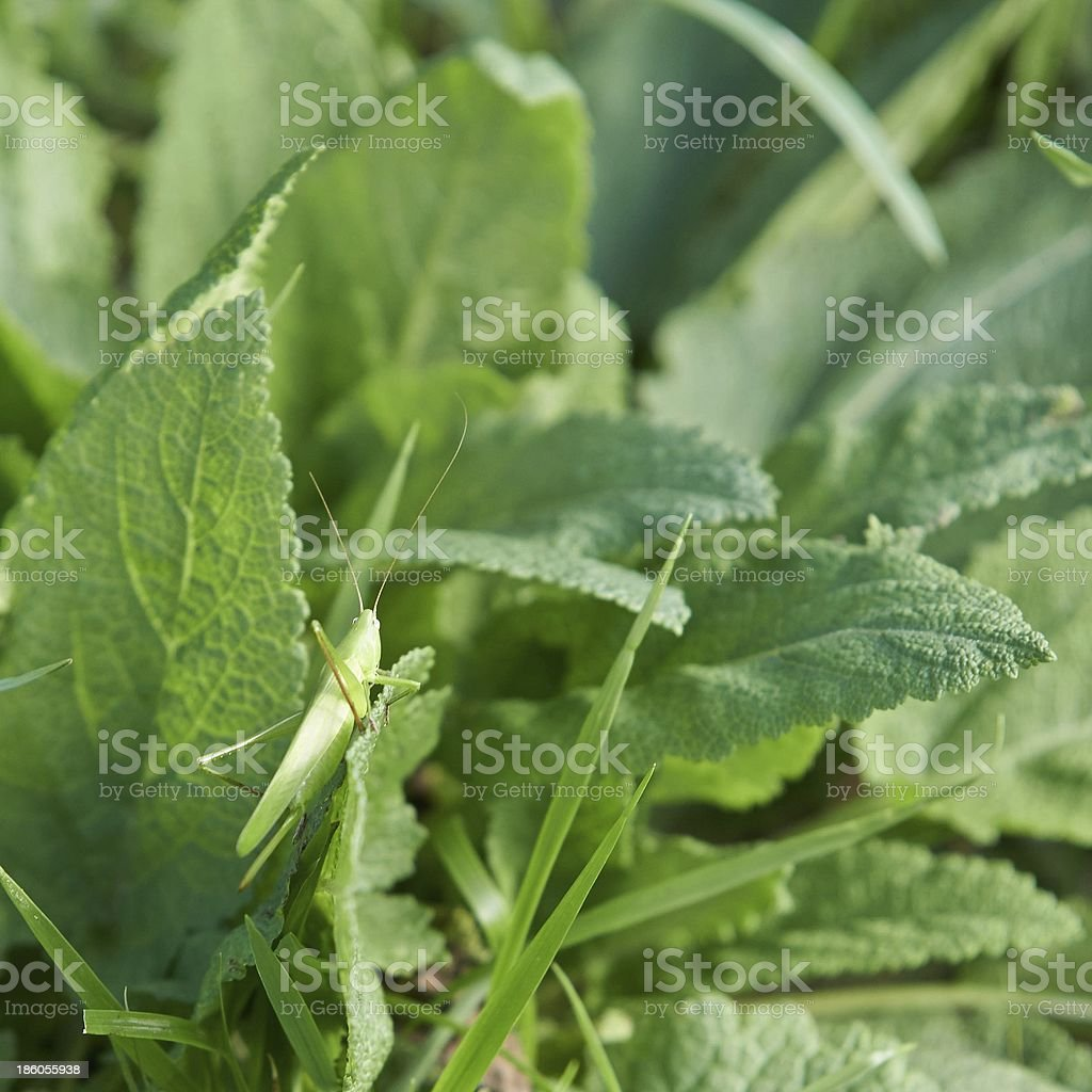 Grasshopper in a wild nature royalty-free stock photo
