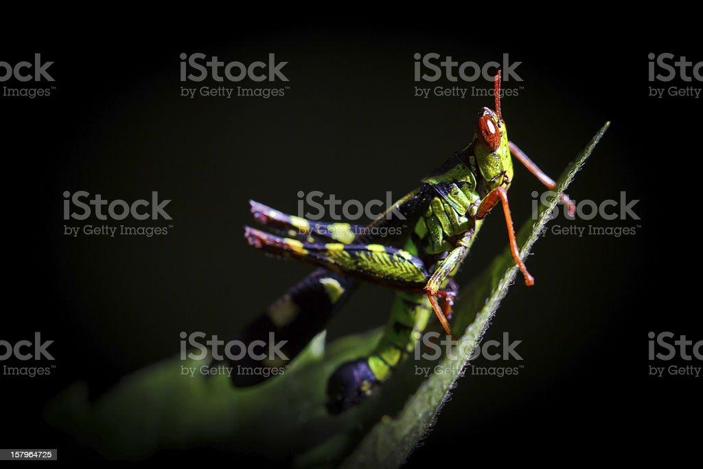 grasshopper in black background royalty-free stock photo