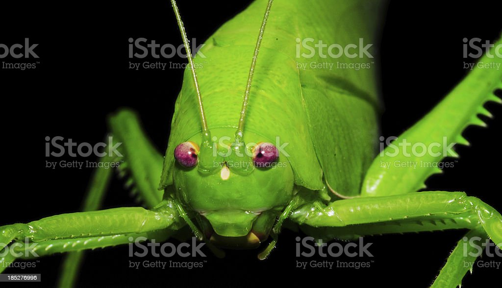 Grasshopper in black background royalty-free stock photo