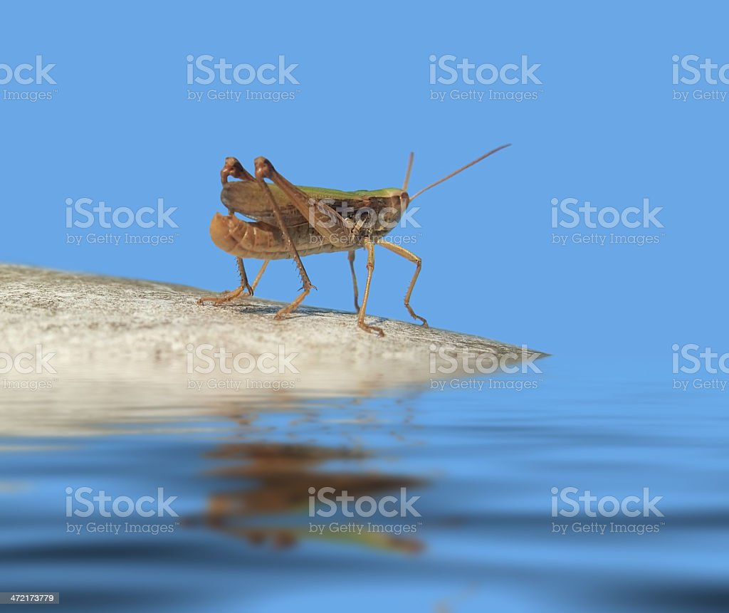 grasshopper in blue ambiance royalty-free stock photo