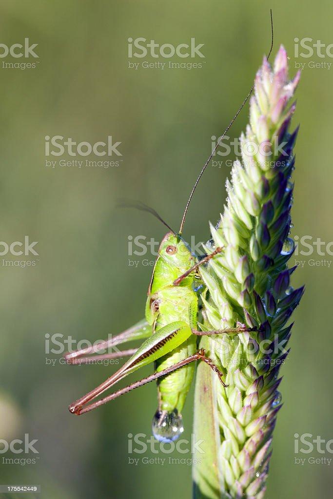 Grasshopper  in dew drops royalty-free stock photo