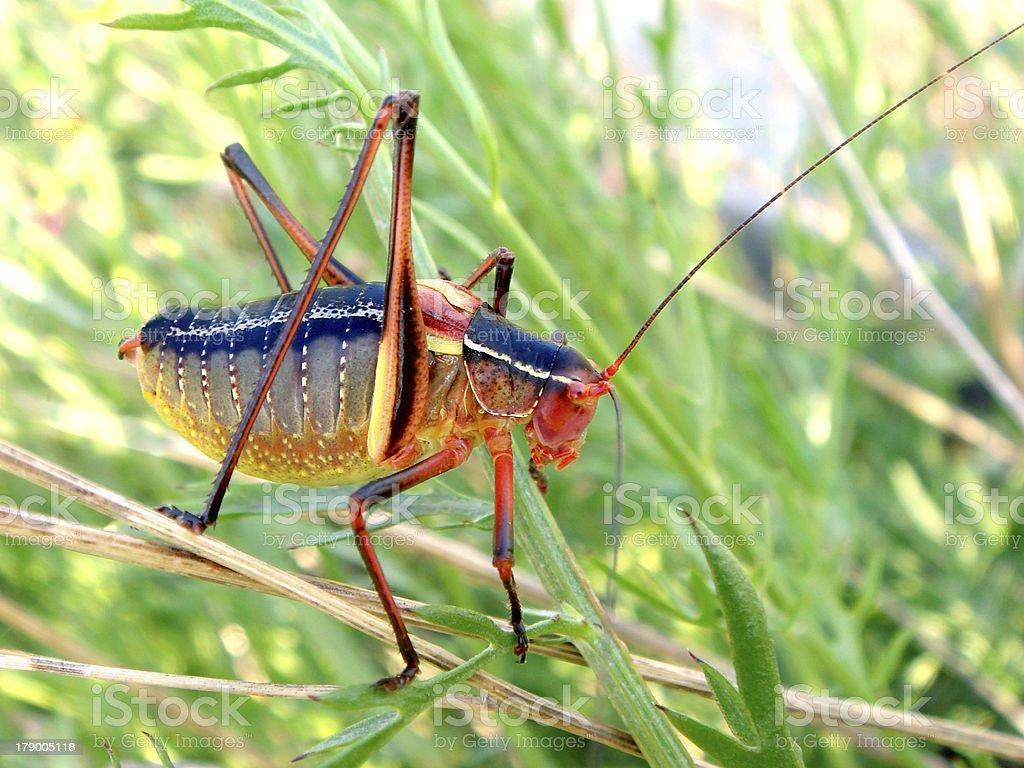 grasshopper in grass royalty-free stock photo