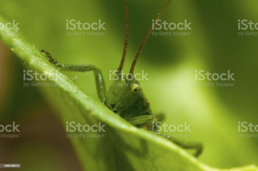 grasshopper in green grass royalty-free stock photo
