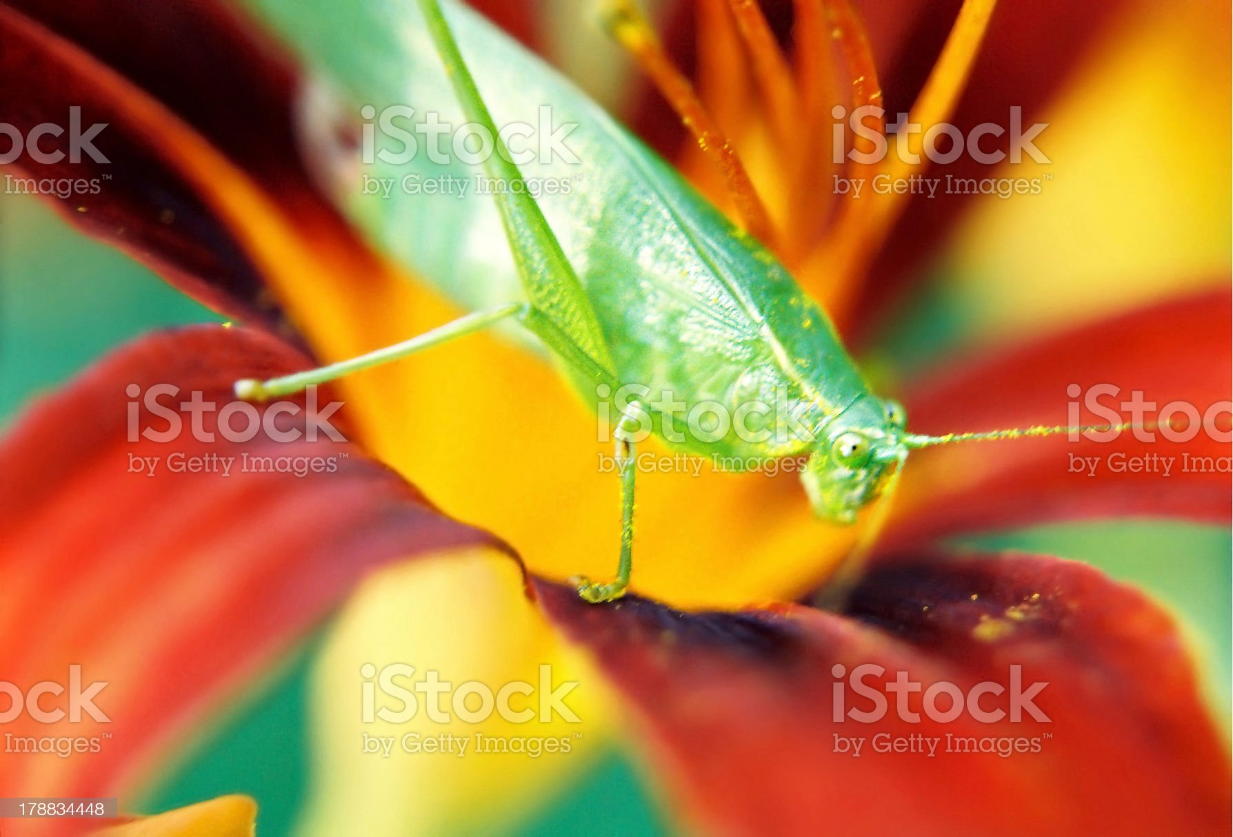 Grasshopper in Lily royalty-free stock photo