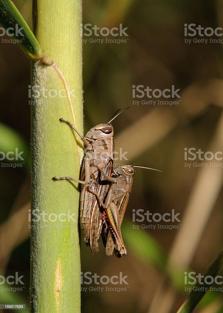 Grasshopper in love stock photo