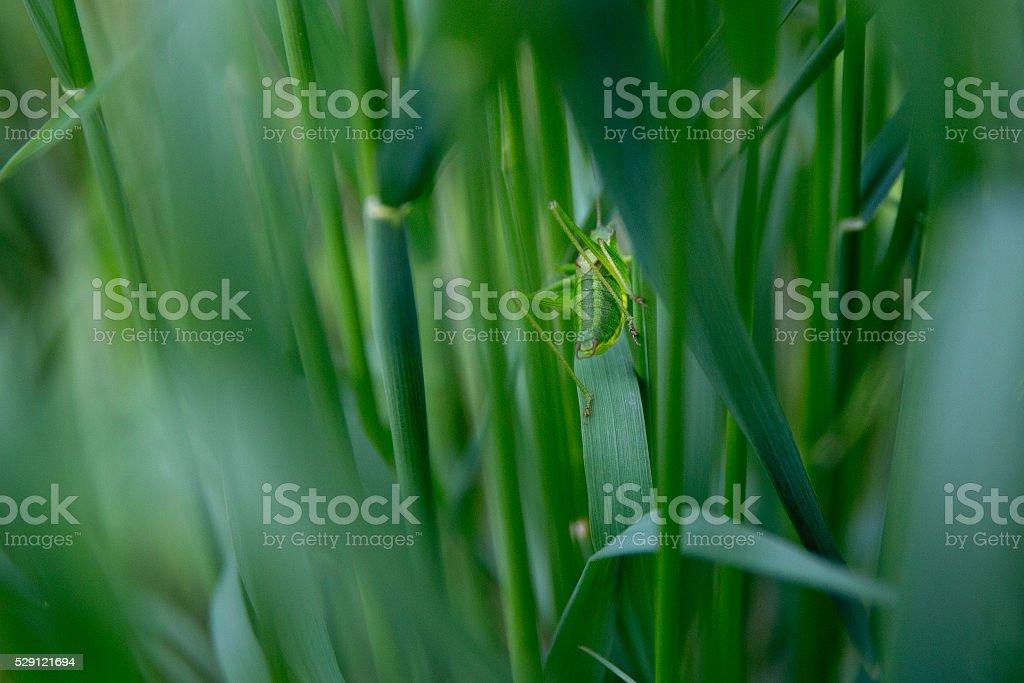 Grasshopper in meadow stock photo