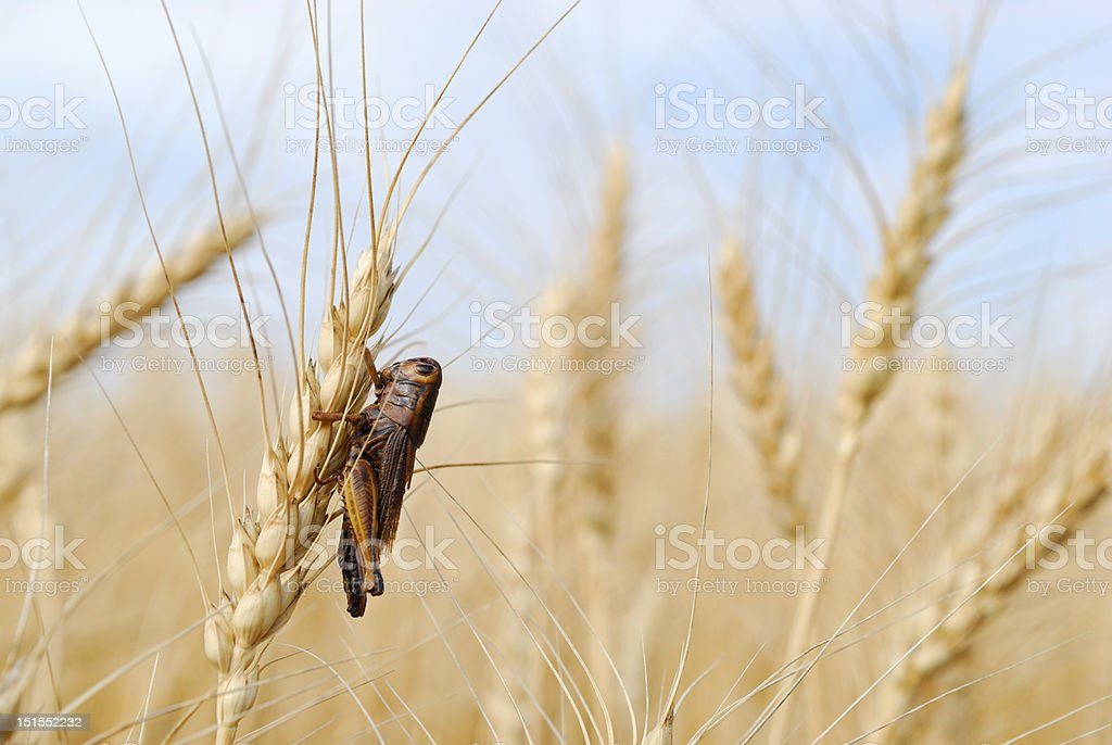 Grasshopper in Spring Wheat crop stock photo