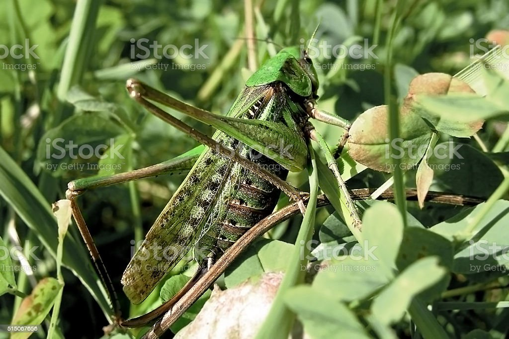 Grasshopper in the grass. stock photo