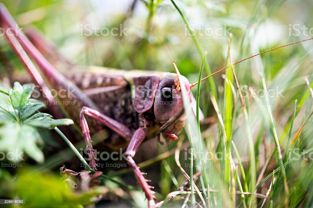 Grasshopper in the leaves stock photo