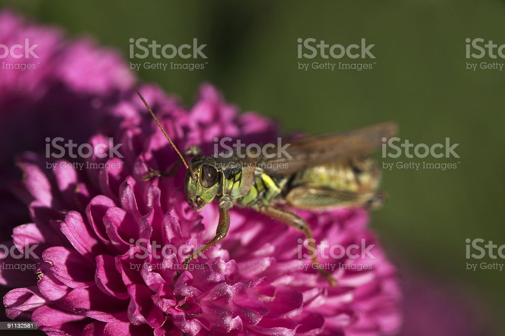 Grasshopper in your graden royalty-free stock photo