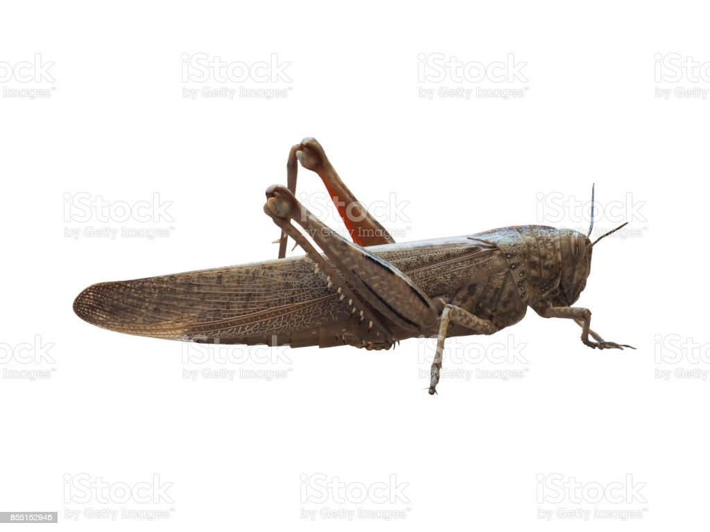 grasshopper insect animal isolated over white background