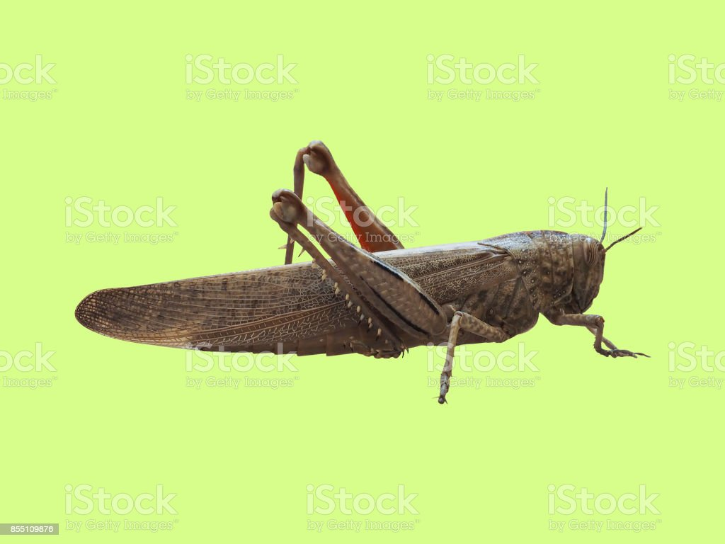 grasshopper insect animal over green background