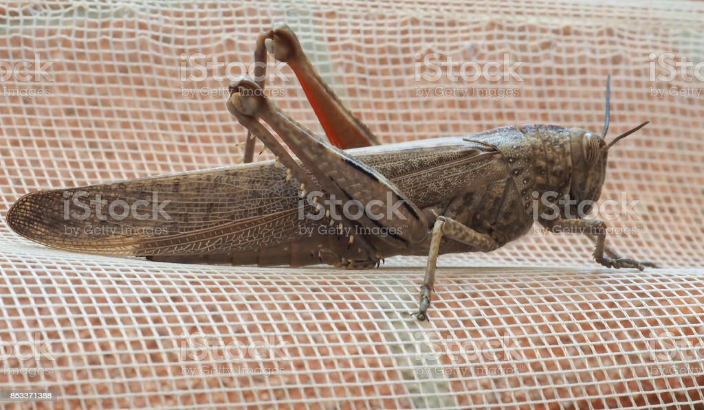 grasshopper insect animal close view