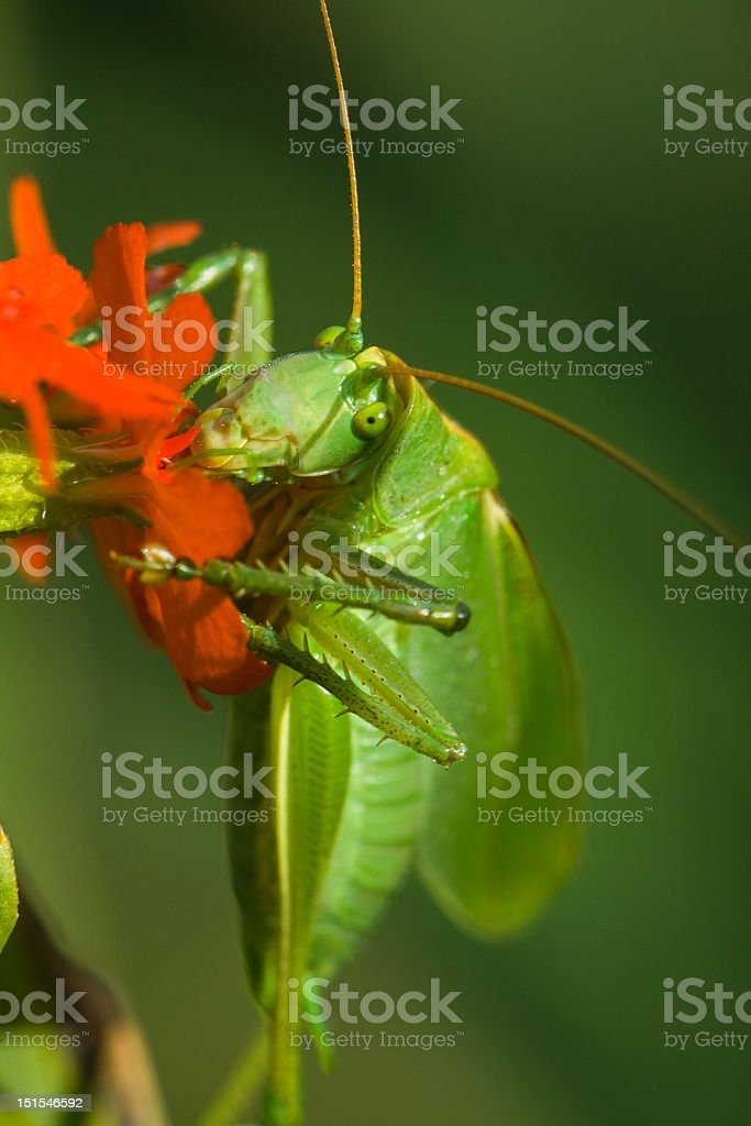 Grasshopper is eating royalty-free stock photo