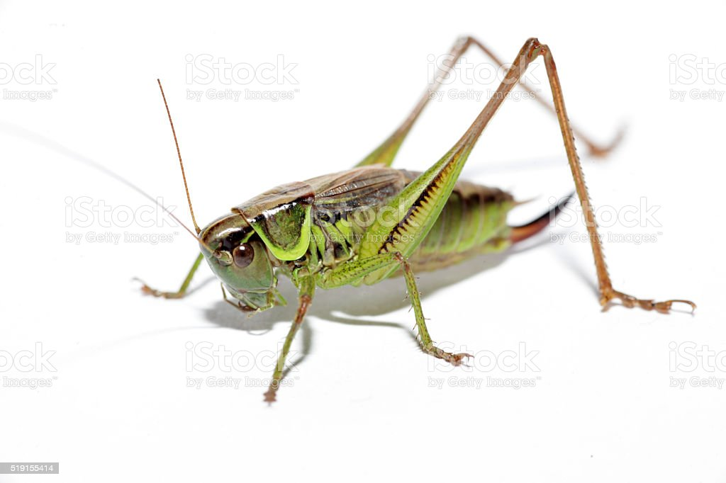 Grasshopper isolated on pure white stock photo