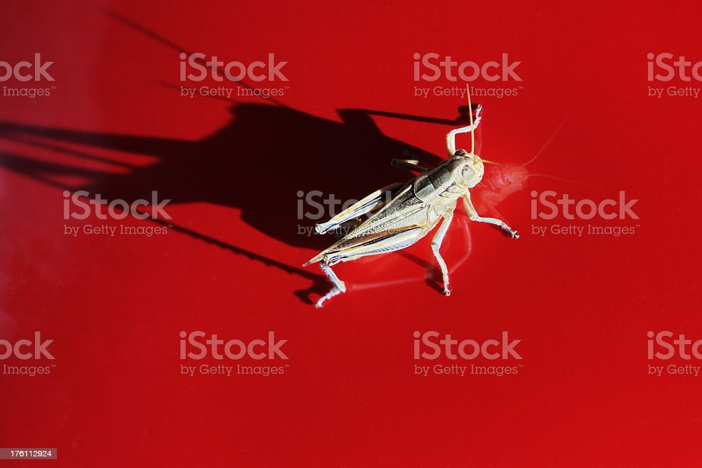Grasshopper Locust Insect Reflection Shadow royalty-free stock photo