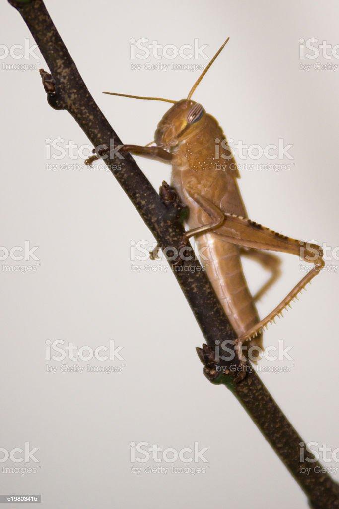 grasshopper, Locust on the branch stock photo