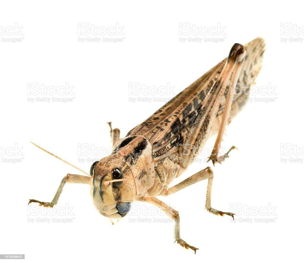 grasshopper locust on white background stock photo