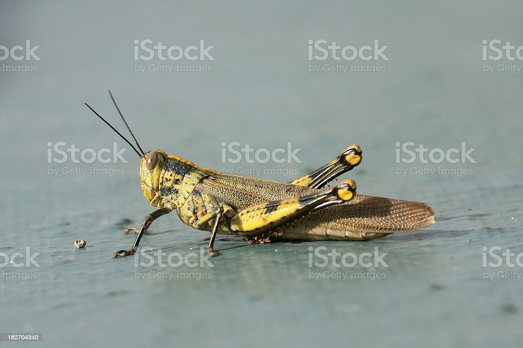 grasshopper, locust royalty-free stock photo