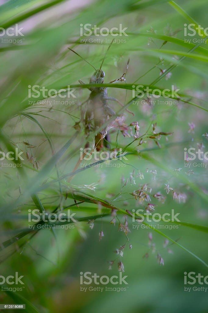Grasshopper lurking in grass stock photo