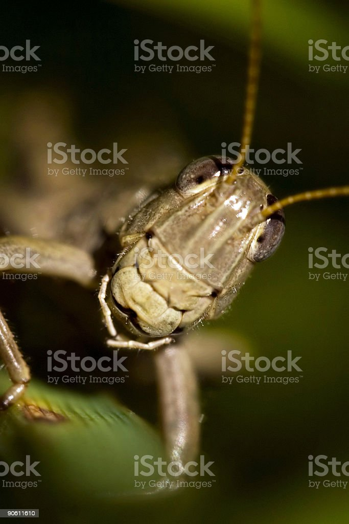 Grasshopper Macro royalty-free stock photo