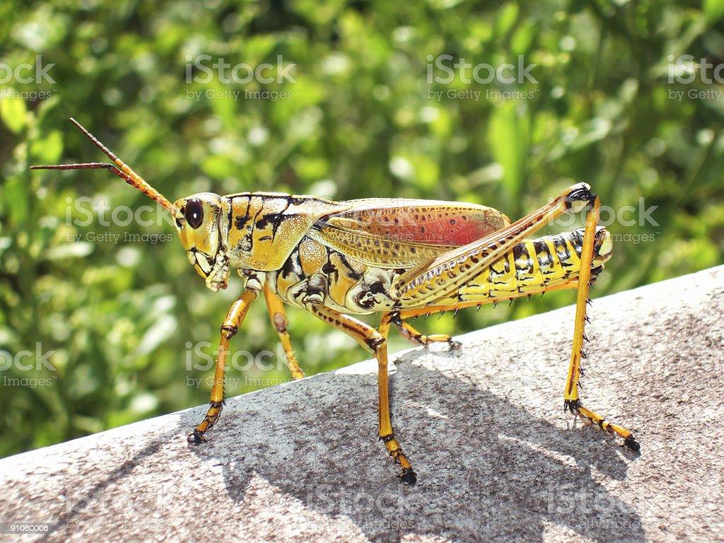 Grasshopper macro royalty-free stock photo
