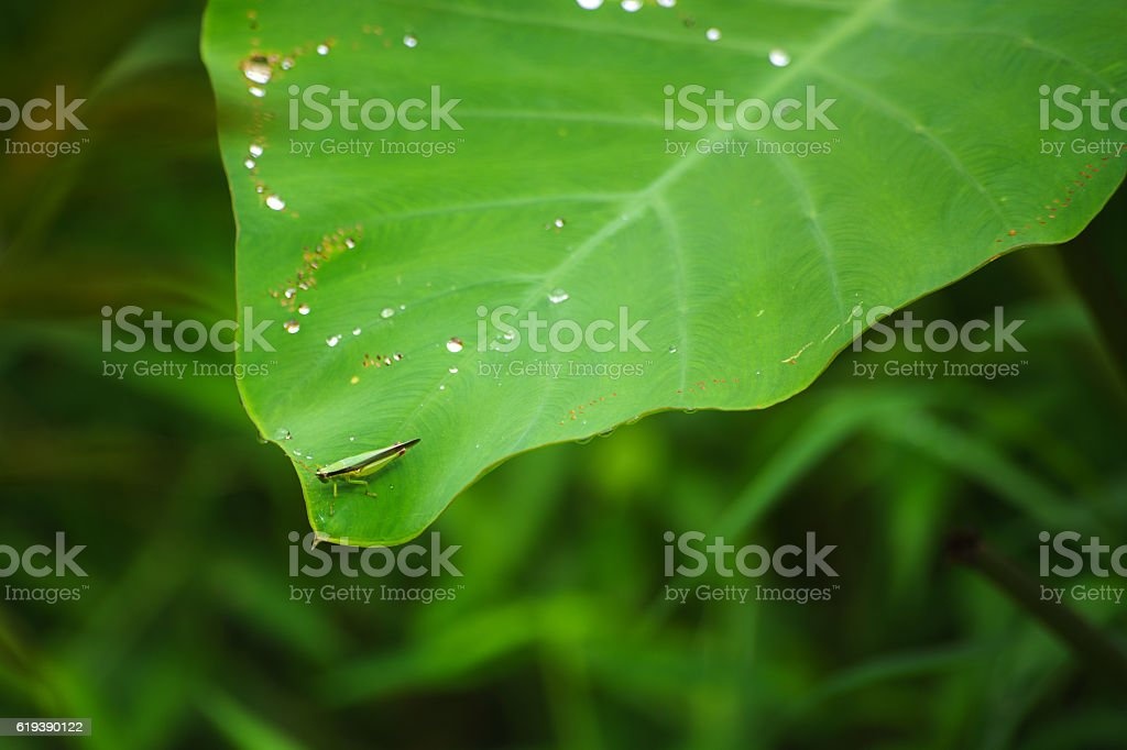 Grasshopper macro,Green nature insect,Grasshopper closeup camouflage,Plant destroyer insect. stock photo