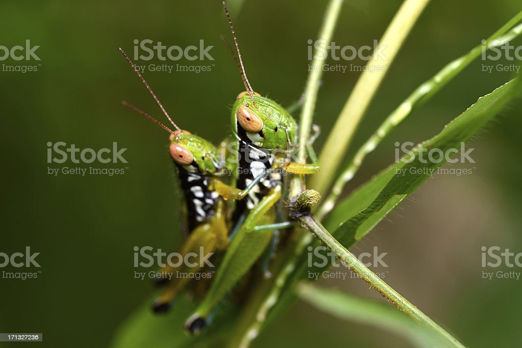 Grasshopper mating on grass leaf royalty-free stock photo