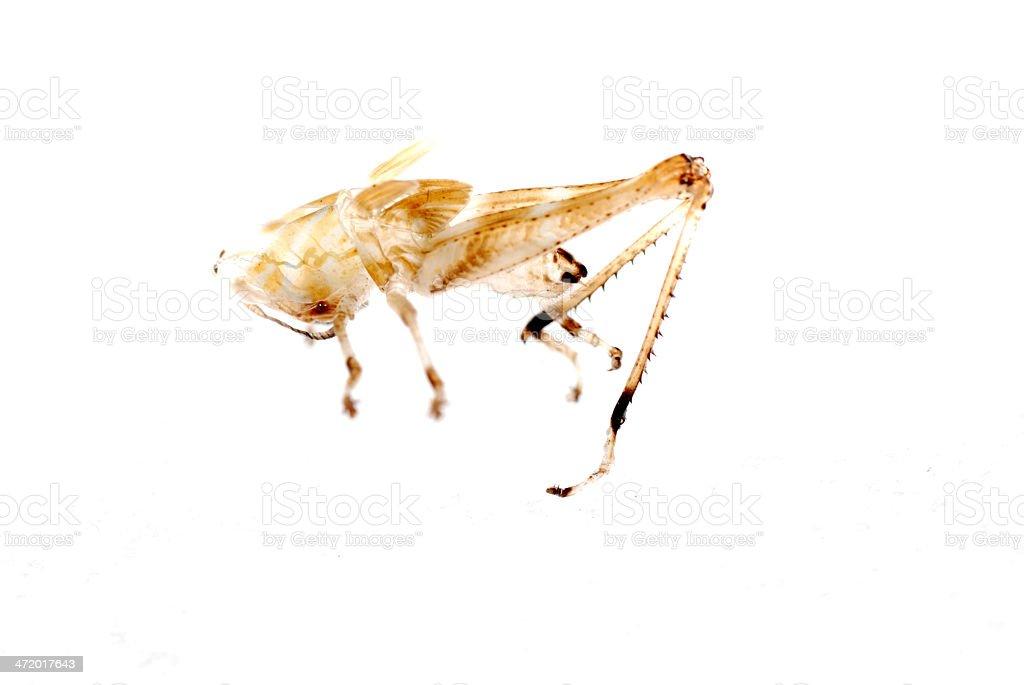 grasshopper molt royalty-free stock photo