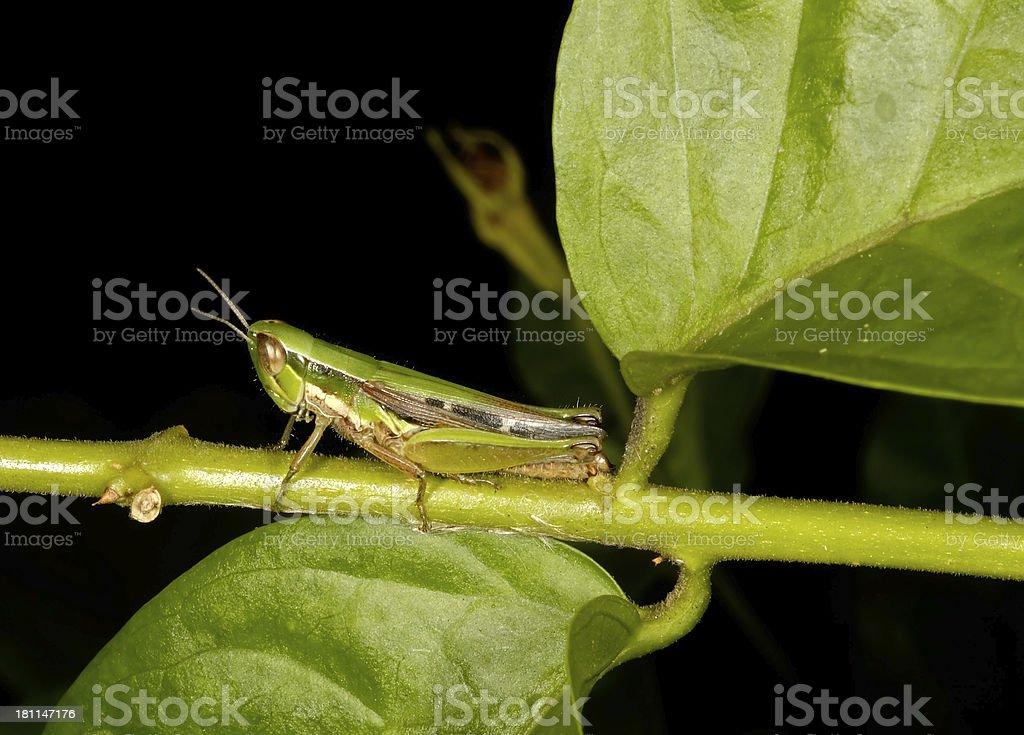 Grasshopper Nymph royalty-free stock photo