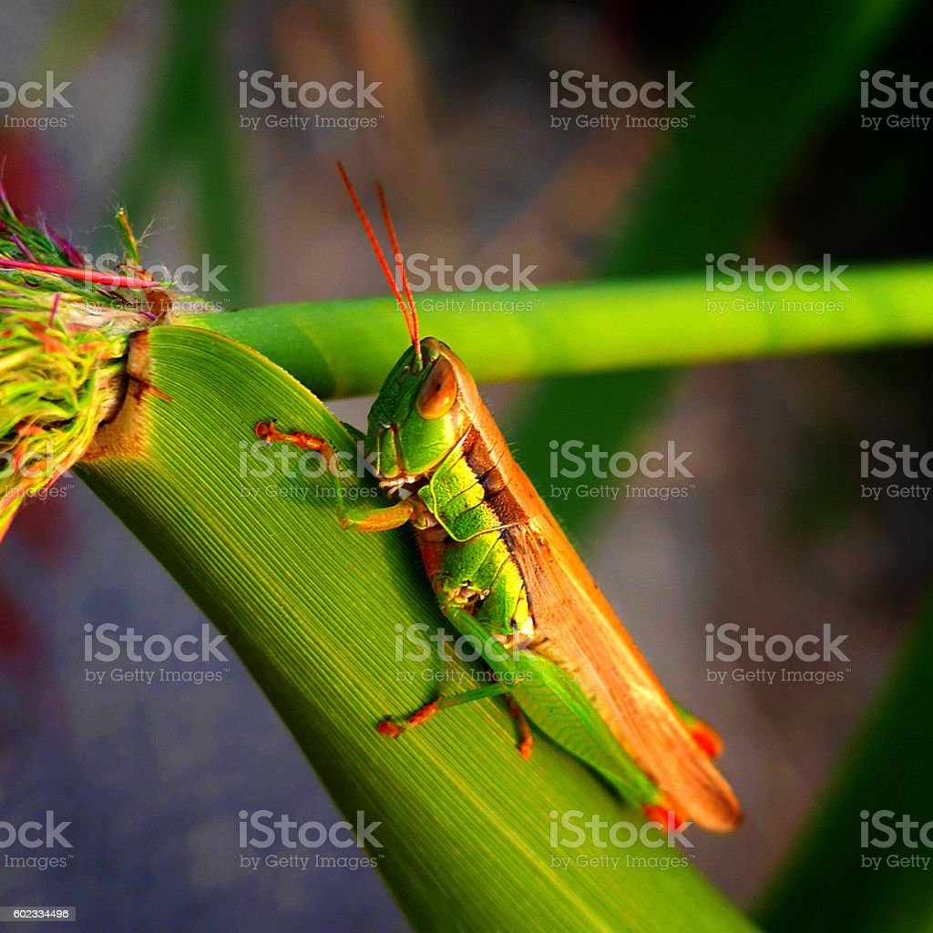 grasshopper of camouflage stock photo