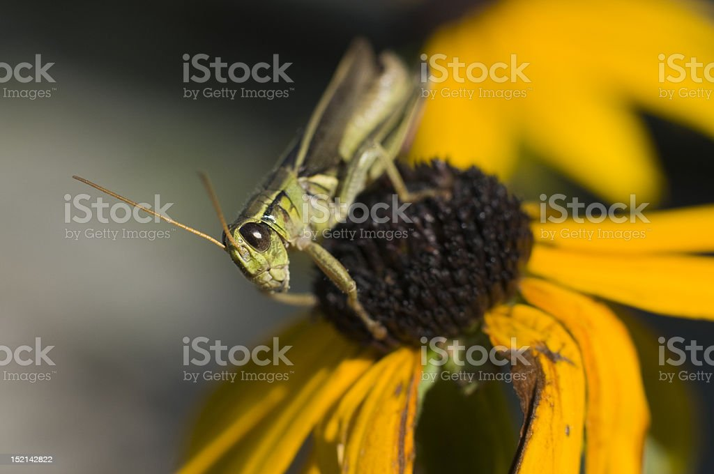 Grasshopper on a Black-Eyed Susan stock photo