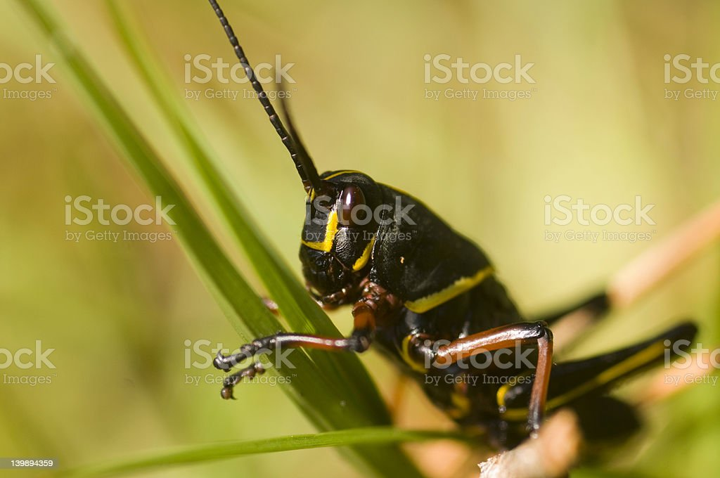 Grasshopper on a blade of grass royalty-free stock photo
