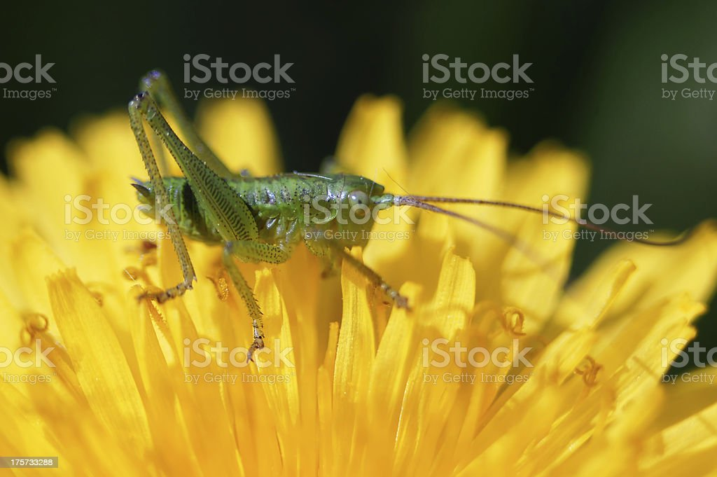Grasshopper on a dandelion. royalty-free stock photo