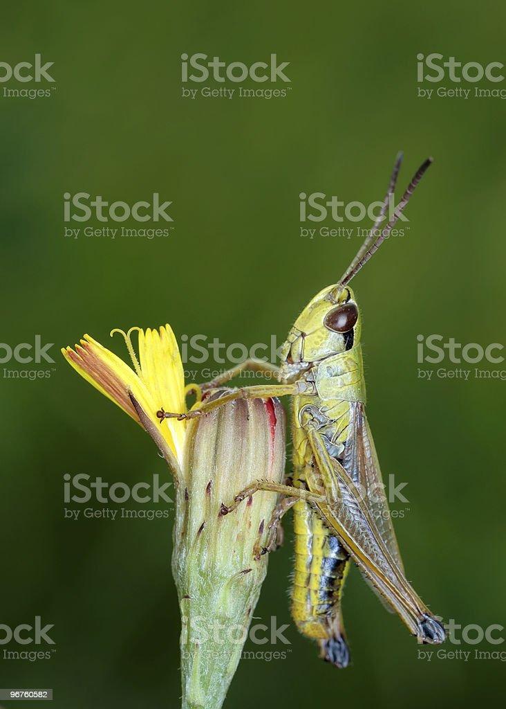 Grasshopper on a flower royalty-free stock photo