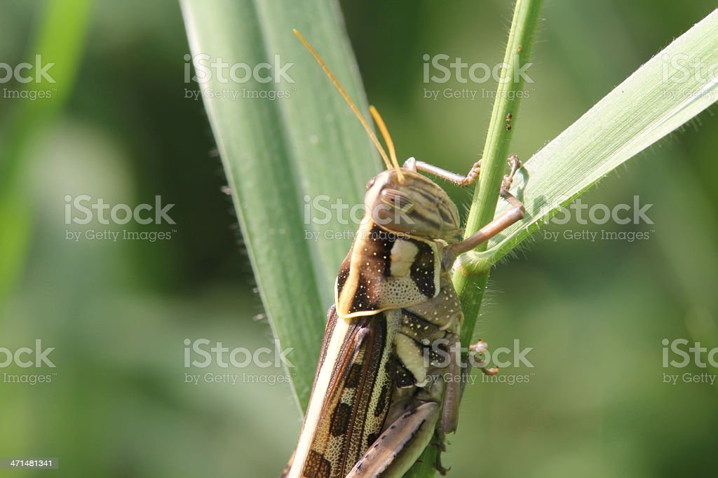Grasshopper on a green grass royalty-free stock photo
