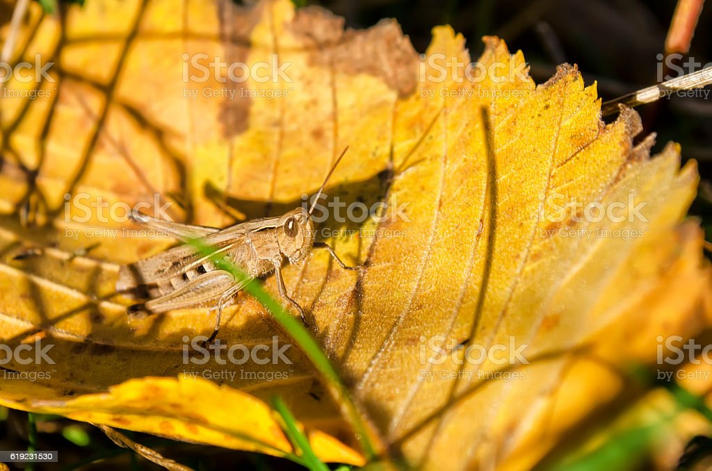 grasshopper on a green leaf in the field stock photo