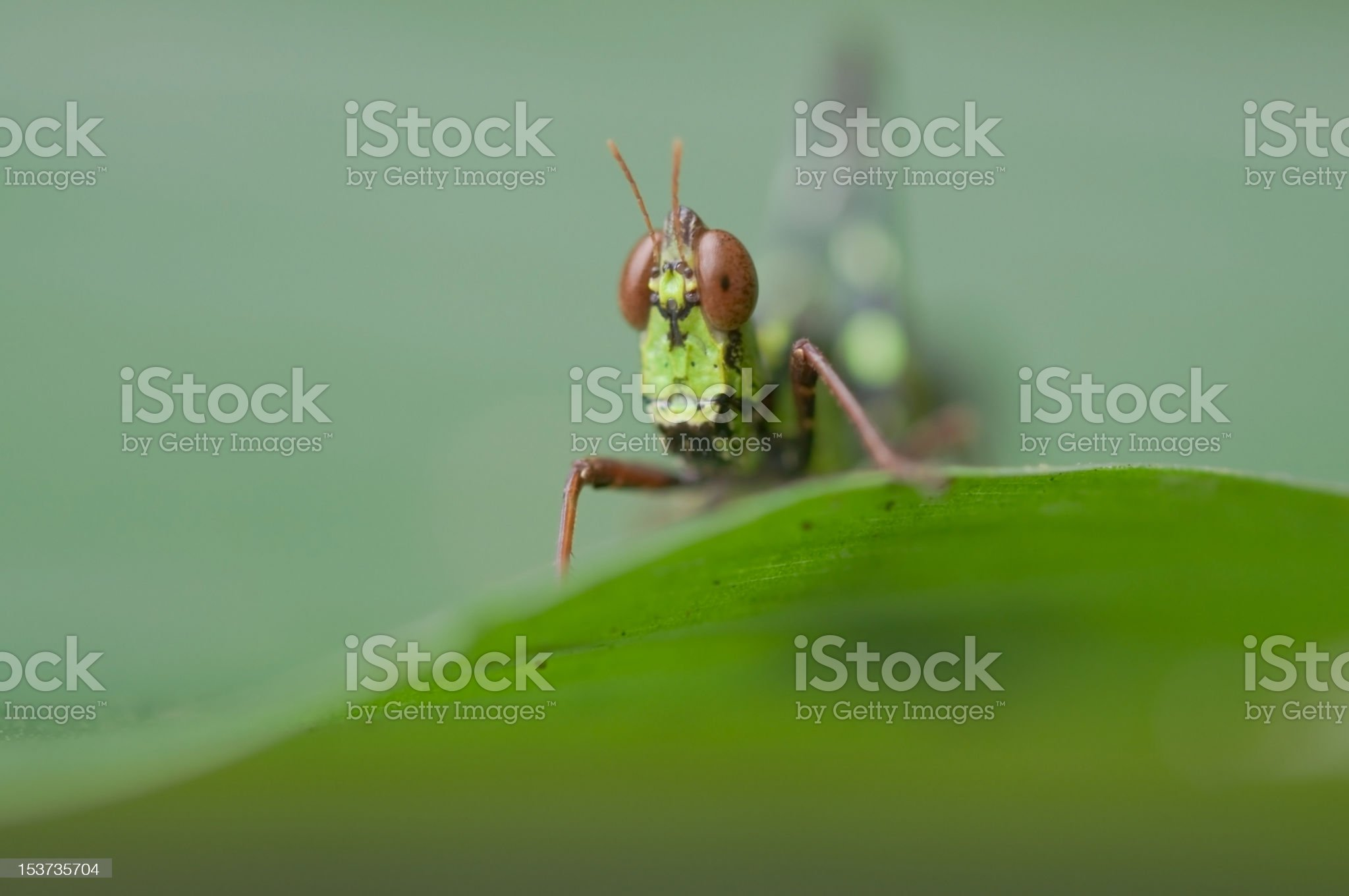 Grasshopper on a green leaf. royalty-free stock photo