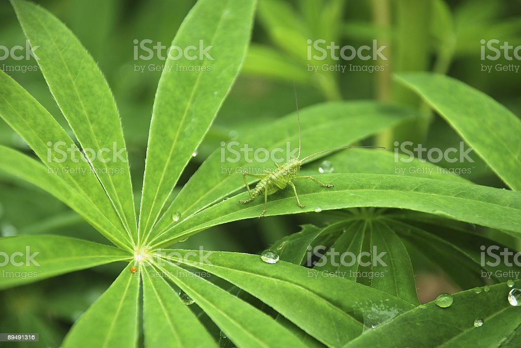 Grasshopper on a leaf royalty-free stock photo