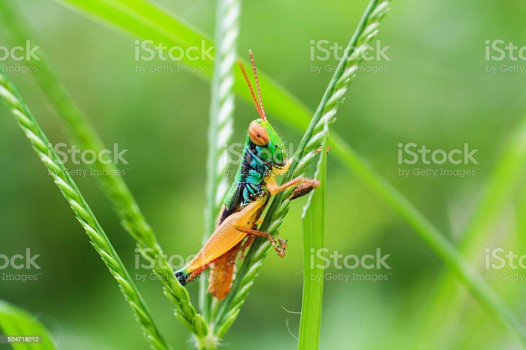 Grasshopper on a Plant stock photo
