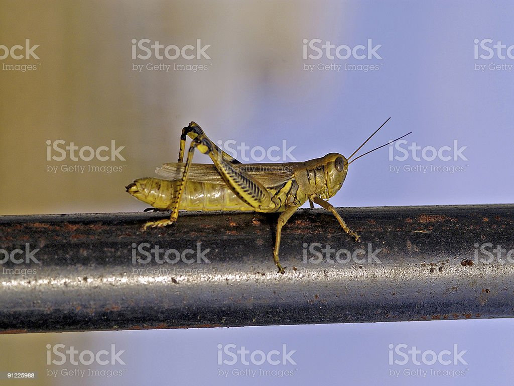 Grasshopper on a Rusty Pipe royalty-free stock photo