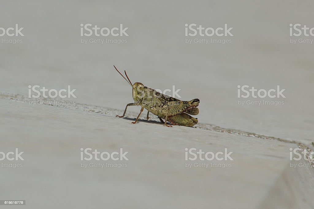 Grasshopper on a wall stock photo
