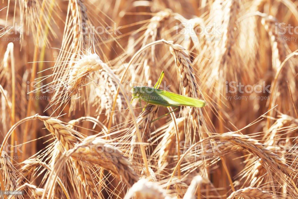 A grasshopper on a wheat stock photo