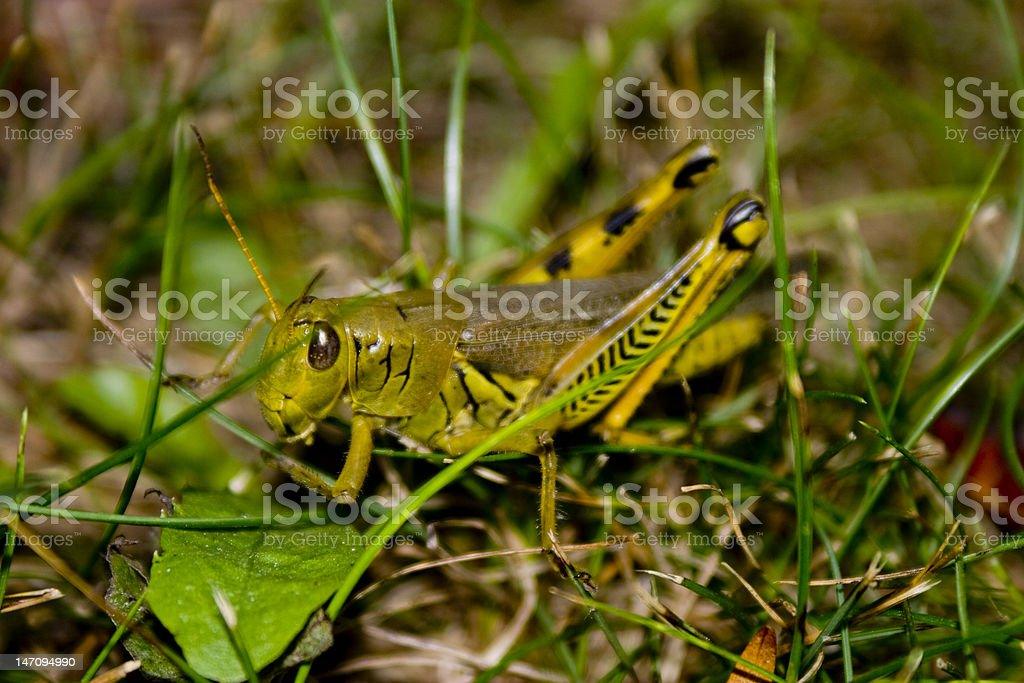 Grasshopper on Blades of Grass royalty-free stock photo