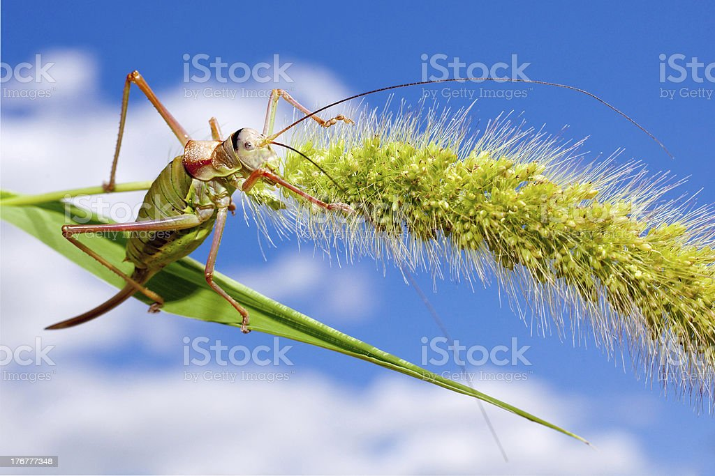 grasshopper on cereal stock photo