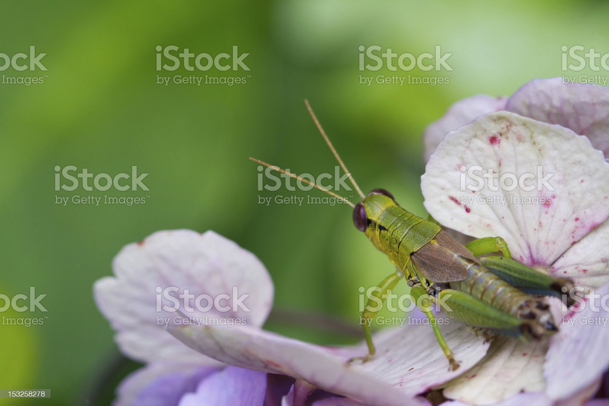 Grasshopper on colourul flower royalty-free stock photo
