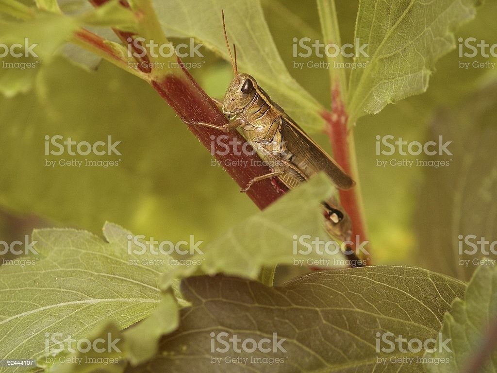 Grasshopper on Dahlia royalty-free stock photo