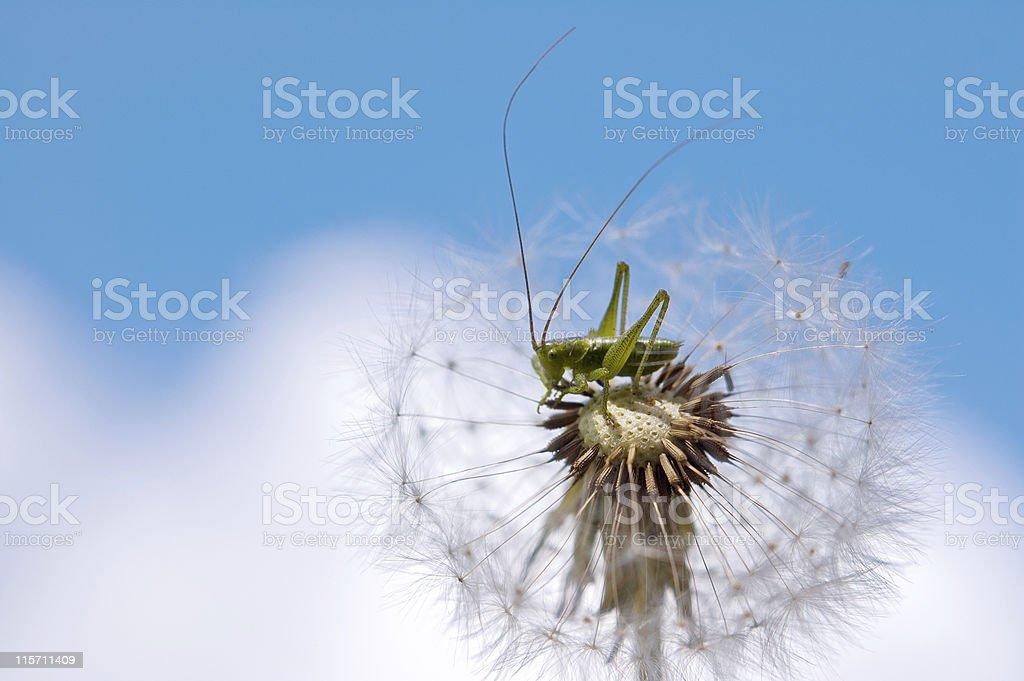 grasshopper on dandelion front of blue sky royalty-free stock photo