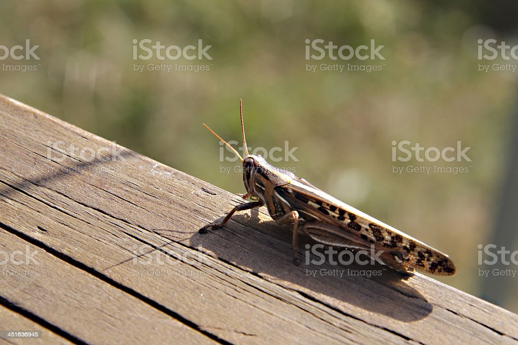Grasshopper on Deck stock photo