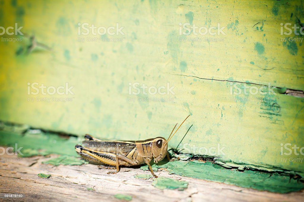 Grasshopper on Distressed Green Windowsill, Copy Space stock photo